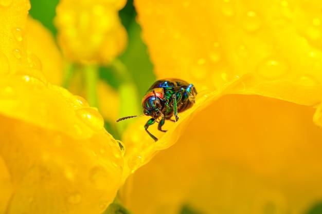 노란색 꽃에 자리 잡고 아름 다운 푸른 유 딱정벌레