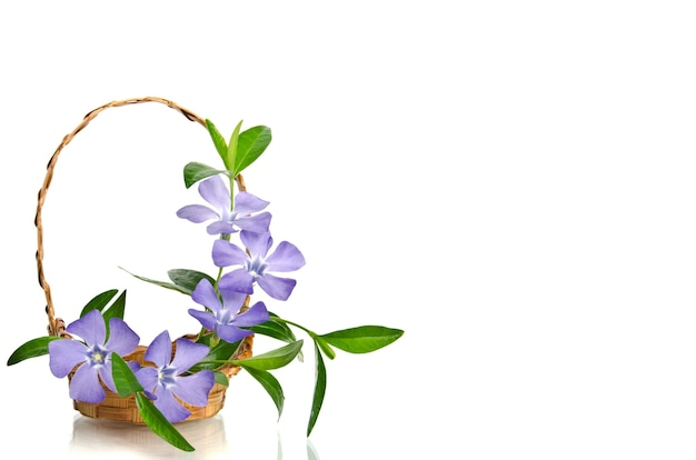 Beautiful blue periwinkle in the basket isolated on white