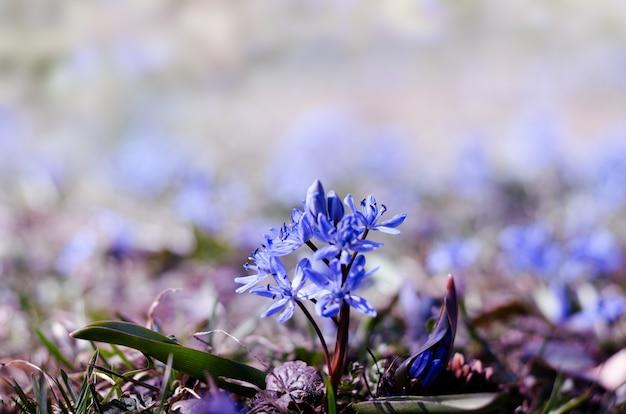 밝은 봄 햇살 아래 아름다운 푸른 scilla siberica. 정원에서 첫 번째 봄 꽃입니다. 마법의 봄 계절 배경입니다.
