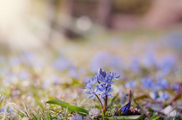 Beautiful blue scilla siberica