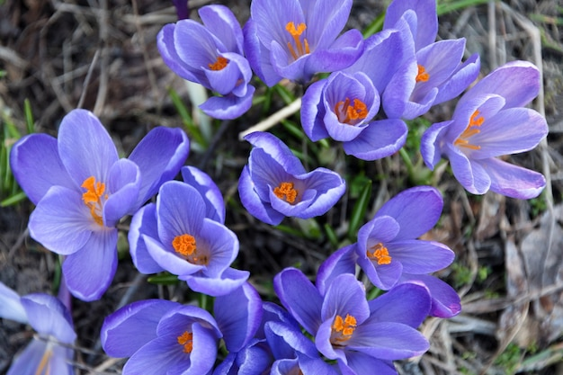 美しい青い春の花がクローズアップ