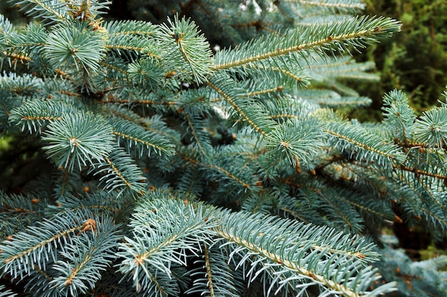Beautiful blue spruce branches with needles close-up