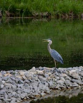 Bellissima cicogna blu in piedi sulle pietre vicino al lago