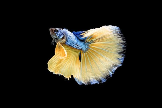 Beautiful blue and yellow betta splendens, siamese fighting fish or pla-kad in thai popular fish in aquarium