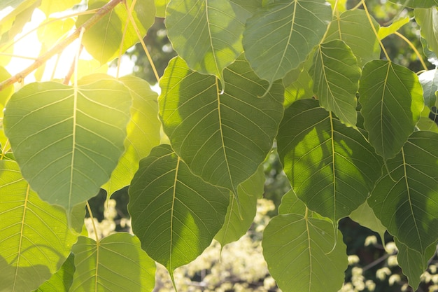 Beautiful of bo leaves on the branch of tree