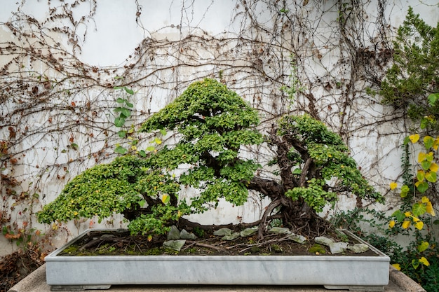 Beautiful bonsai in suzhou garden, china