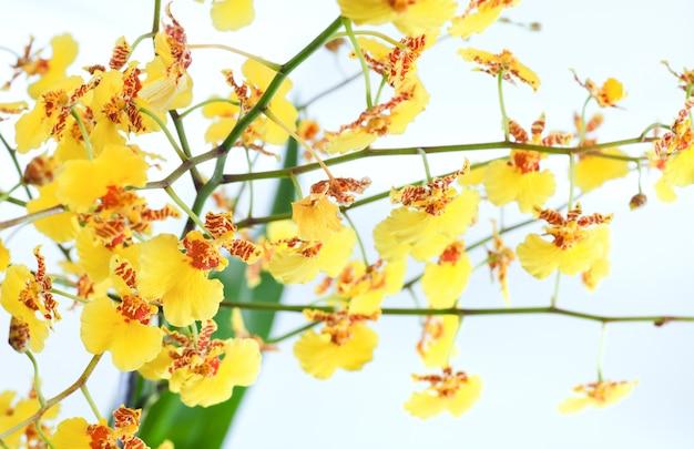 美しいボルドー-黄色のしみのある蘭の花のクラスター(マクロ)