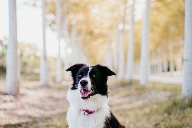 Beautiful border collie dog sitting in a path of trees outdoors.