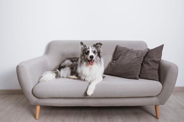 ソファの上の美しいボーダーコリー Premium写真