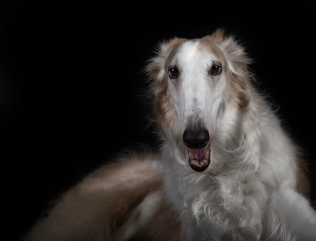 Beautiful borzoi breed pet lying in the foreground
