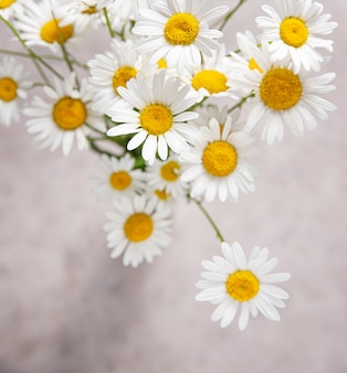 A beautiful bouquet of meadow daisies on a gray-pink background. top view, macro and close up image