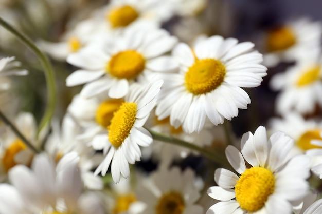 ヒナギクの美しい花束がクローズアップ