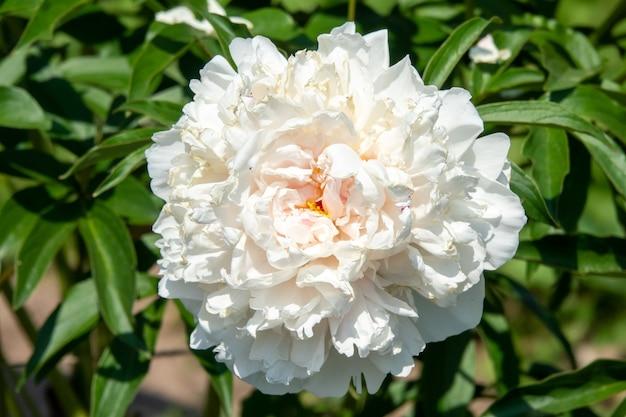 庭のピンクの牡丹の美しい花束