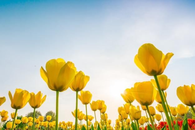 봄 시즌에 튤립의 아름 다운 꽃다발입니다.