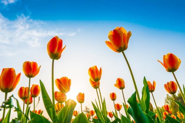 Прекрасный букет тюльпанов в весенний сезон.
