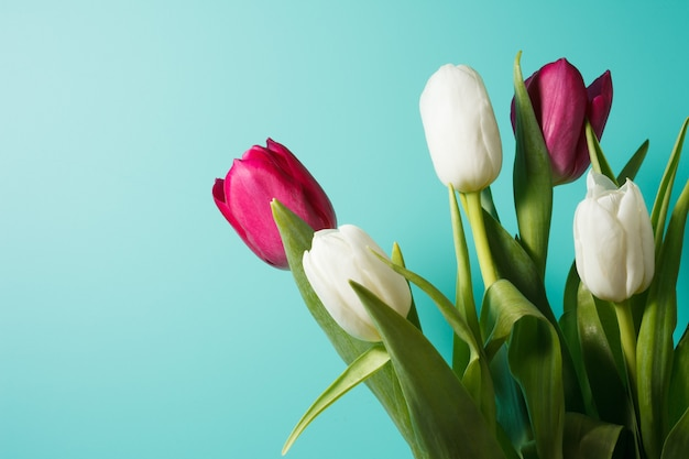 Beautiful bouquet of white and pink tulips on blue background. stock photography