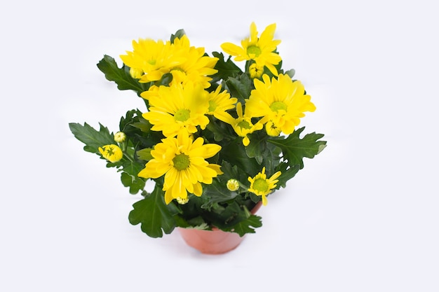 Beautiful bouquet of yellow chrysanthemum on white wooden background.