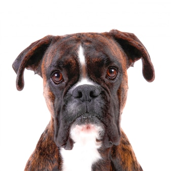 A beautiful boxer with a sweet look in white background