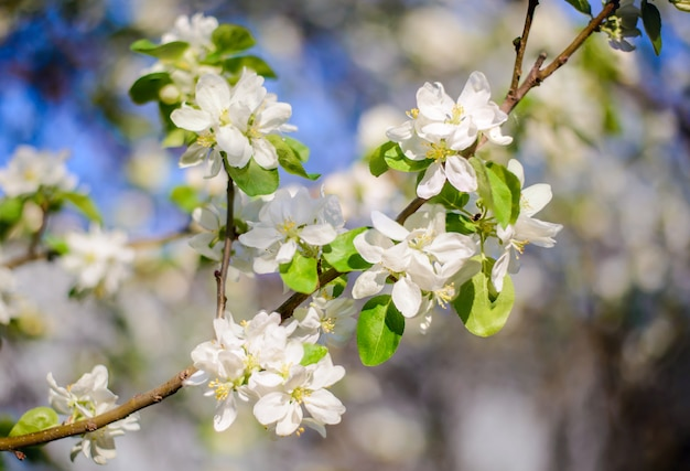 Beautiful branch of a blooming apple tree
