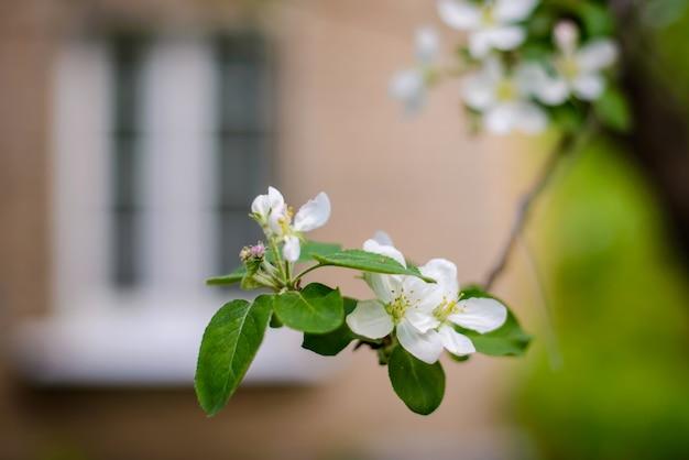 봄 정원에서 흰색 꽃과 꽃 사과 나무의 아름다운 지점