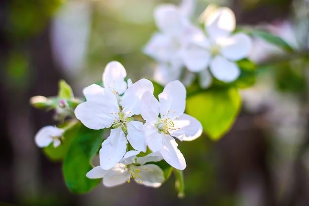 Красивая ветка цветущей яблони с белыми цветами на размытом фоне в весеннем саду