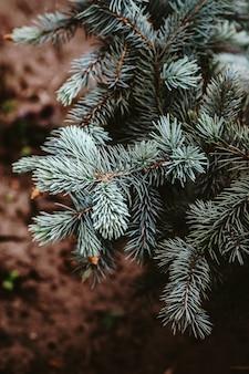 針でトウヒの美しい枝