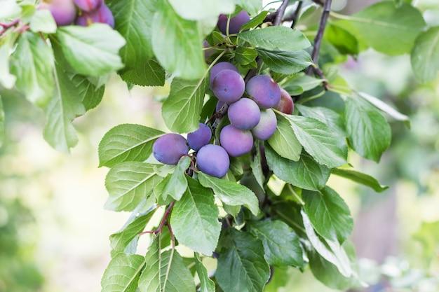 庭に熟した青い梅の美しい枝。