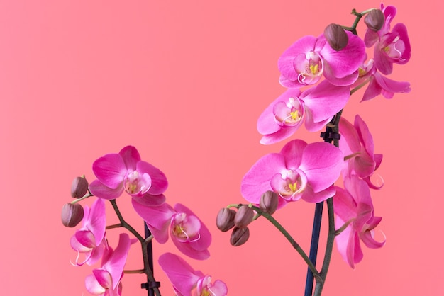 Beautiful branches of magenta orchid flowers