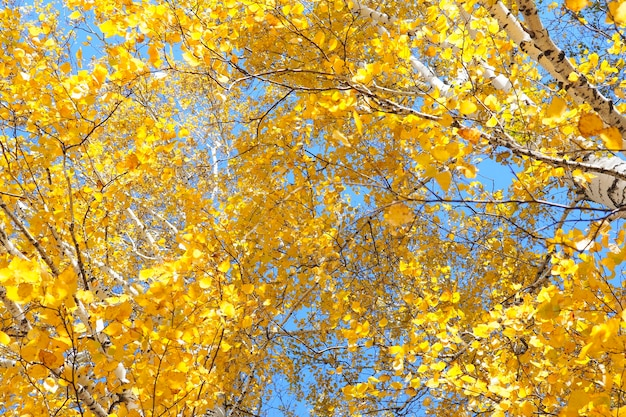 青い空を背景に黄色い紅葉の白樺の森の美しい枝。