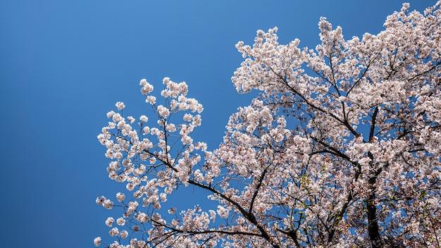 京都の青空を背景に咲く桜の木の美しい枝。日本の桜の木。都会に咲く素晴らしい日本の桜の春の風景。