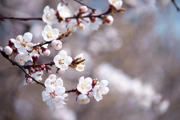 Красивые ветви белых цветов на дереве. предпосылка весны природы.