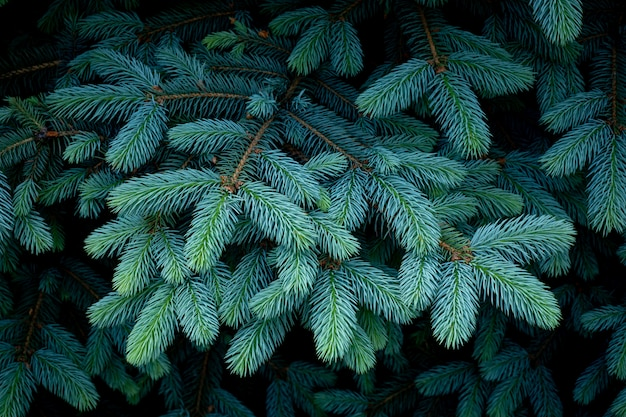 Beautiful branches of spruce with young needles. christmas tree in nature. blue spruce