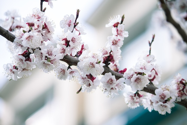 Beautiful branches of white blossoms on the tree