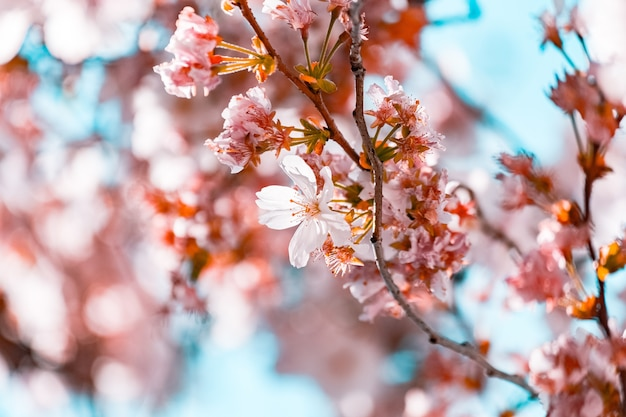 Beautiful branches with cherry blossom flowers