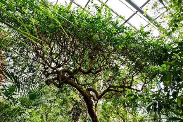 美しい枝分かれした木。コルクウッド。植物園の巻き毛の木。