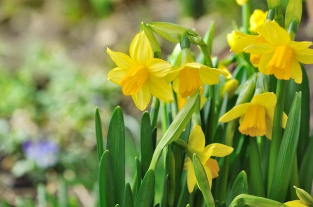 Beautiful brigh daffodils