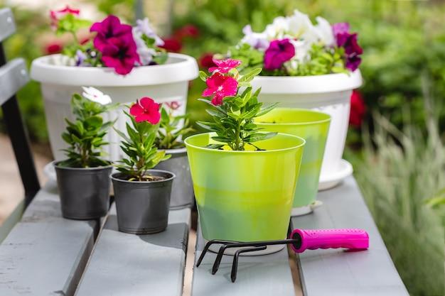 Красивые яркие однолетние цветы в горшках. петунии и катарантусы. содержание садового центра