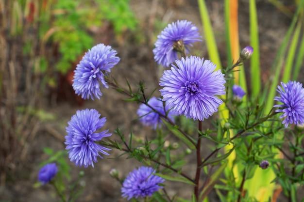 庭に秋に咲く美しい鮮やかなアスターの花