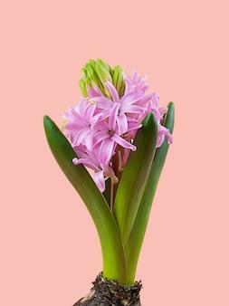 Красивый яркий красочный цветок гиацинта с розовыми и фиолетовыми лепестками