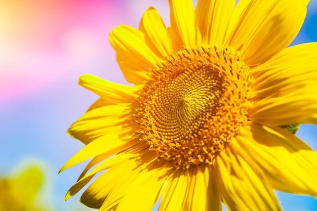 여름 날 해바라기의 아름다운 밝은 필드는 태양이 하늘을 밝게 빛난다