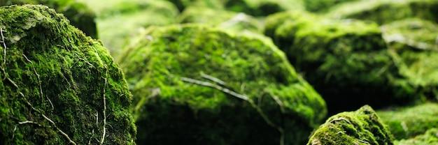育った美しい明るい緑の苔が荒い石と森の床を覆っています。マクロビューで表示します。壁紙のための自然の中で苔の質感に満ちた岩。ソフトフォーカス。