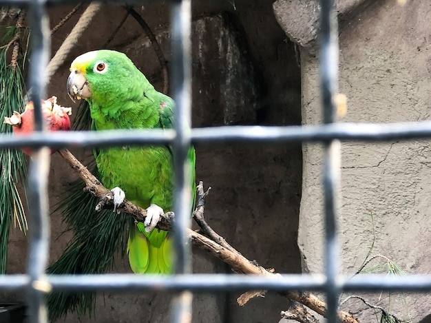A beautiful bright green parrot in a cage in a zoo in spain who eats an apple on a twig. photography of birds.