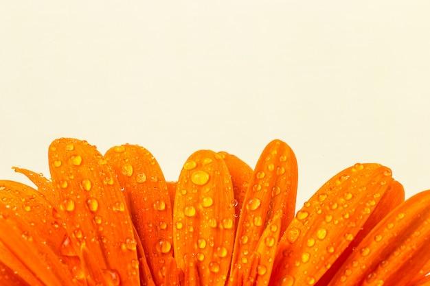 Красивый ярко-оранжевый гербер в макросе