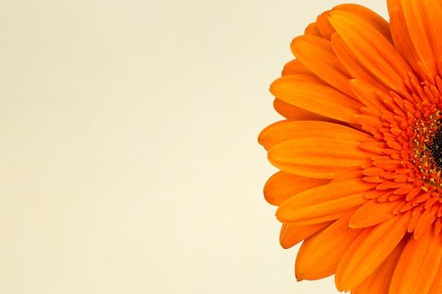Красивые ярко-оранжевые герберы в макросе