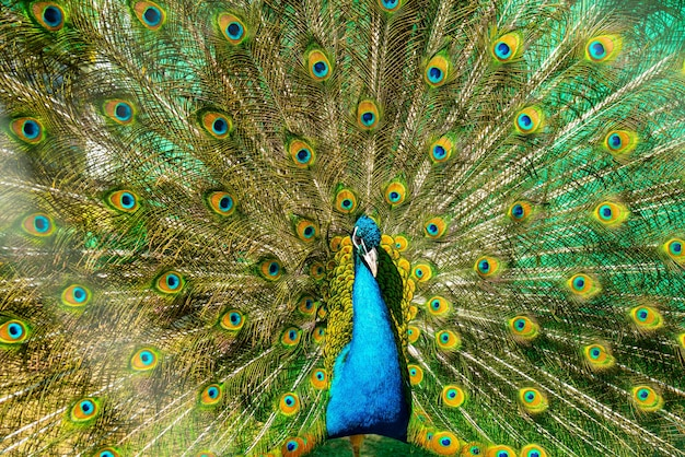 Beautiful bright peacock with a loose tail. pets on the farm in summer.