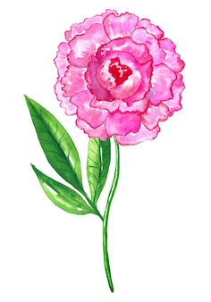 美しい明るいピンクの牡丹。手描きの水彩イラスト。孤立。