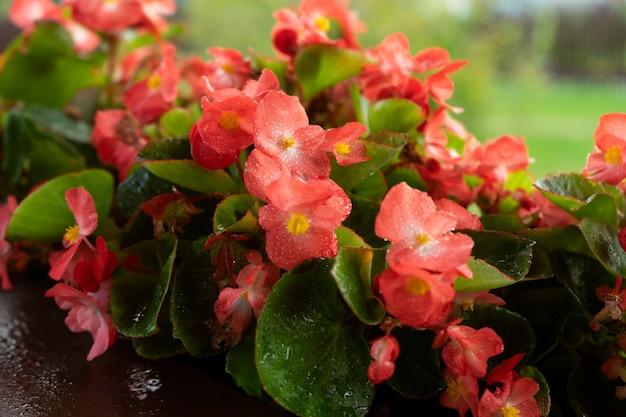 홈 테라스에 있는 냄비에 아름다운 밝은 빨간색 베고니아 꽃. 가정 원예 및 심기 개념