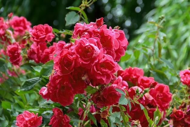 Beautiful bright red rose flowers with a drops of dew water on a green juicy background.