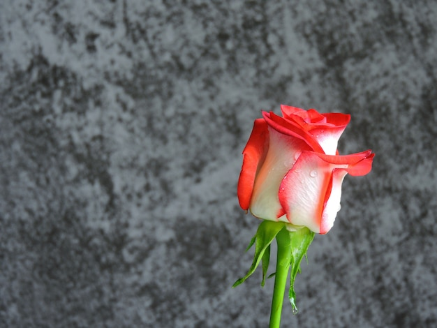 Beautiful bright rose on a gray background. a gift for a date on valentine's day. copy space