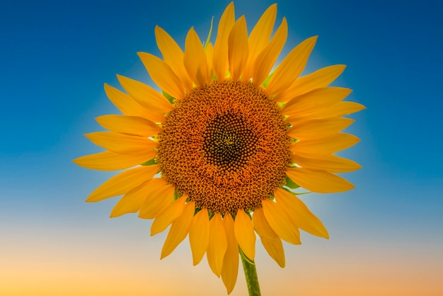 Beautiful bright sunflower against the blue sky perfect desktop wallpaper for design and interior